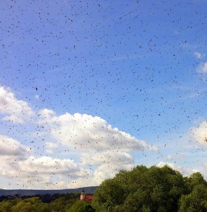 bee swarm I
